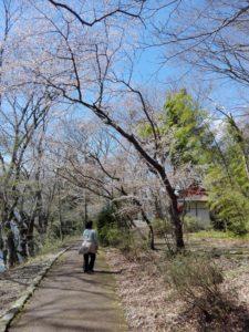 桜並木の中で鳥のさえずりを聴く