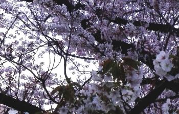 寒さの中を頑張っている葉桜